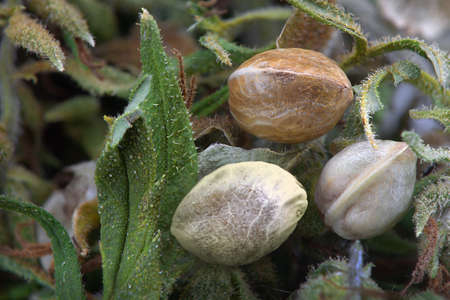 Close view of three hemp seeds on  dried cannabis leaves