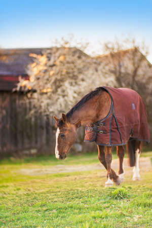 Photo pour Brown old sick horse with caparison in the farm yard in spring sunset. - image libre de droit
