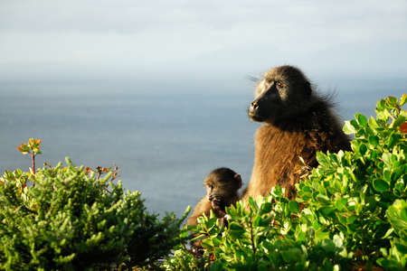 Couple of Baboons at Cape Peninsula, South Africa