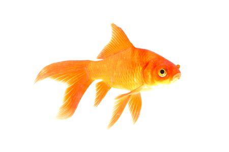 Photo pour Koi fish is domesticated version of common carp. - image libre de droit