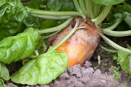 beet plant sticking out of vegetable garden
