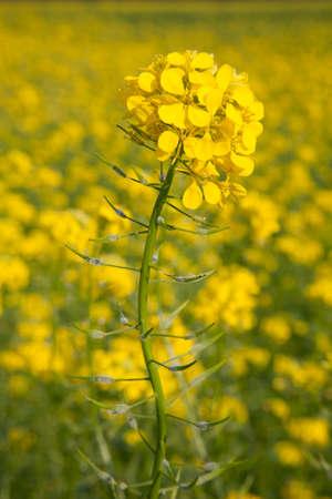 flower of yellow mustard seed in field of sinapis alba