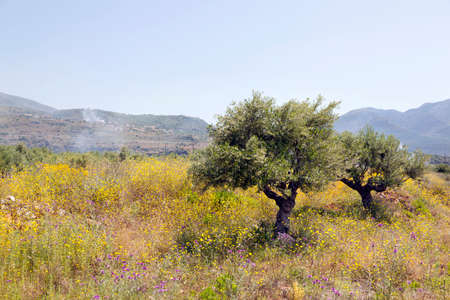 olive trees and yellow flowers near stoupa in mani on greek peloponnese under blue sky in spring with mountain landscape in the background
