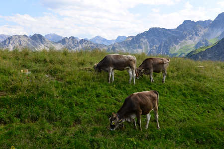 Cows on a mountain meadow, Alpe Allgaeu in the alps