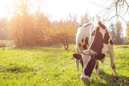 Foto de beautiful white  young cow on pasture looking at camera. - Imagen libre de derechos
