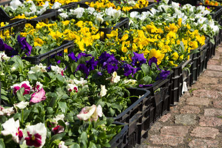 Photo for Selling seedlings of Pansy Viola flowers of various colors in boxes on the market - Royalty Free Image