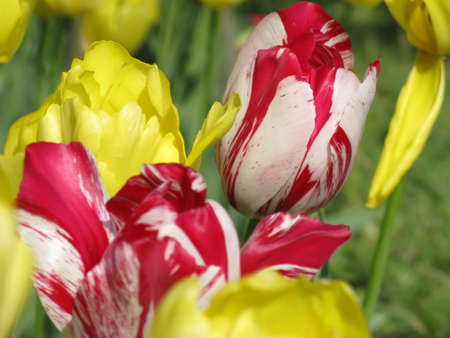 Photo pour Red and yellow tulips blooming in garden in spring close up - image libre de droit