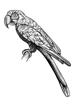 Illustration pour Parrot hand drawn vector illustration. Macaw bird sitting on the branch, line black and white sketch. - image libre de droit