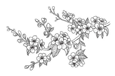 Illustration pour Blooming cherry branch, vector illustration. Sakura isolated line sketch on white background. - image libre de droit