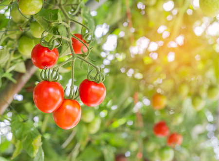 Photo pour Close up red tomatoes hang on trees growing in garden - image libre de droit