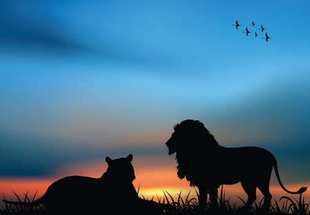 Lion and lioness in the African savanna at the sunset