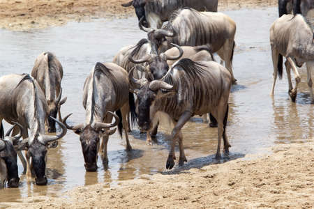 Wildebeest  Connochaeted taurinus  is walking along the river while others wildebeests are drinking in the river