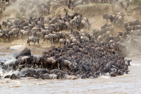 Wildebeest (Connochaetes taurinus) great migration at the Mara river crossing