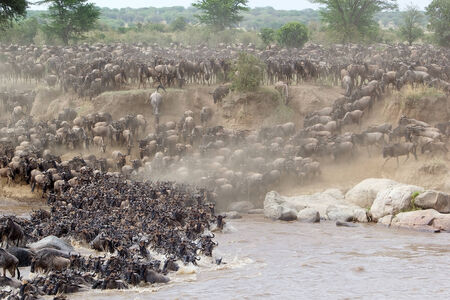 Wildebeest (Connochaetes taurinus) migration at the Mara river crossing