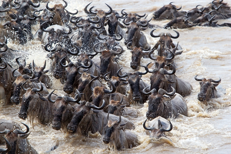 Wildebeest  Connochaetes taurinus  migration during the crossing of the Mara river