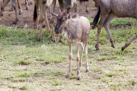 Young wildebeest (Connochaetes taurinus) in the african savanna