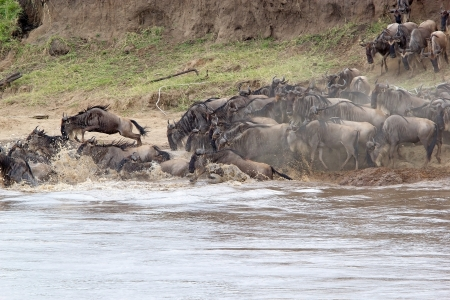 Wildebeest (Connochaetes taurinus) start the crossing of the Mara river during the migration