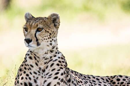 Cheetah portrait in Massai Mara, Kenya.