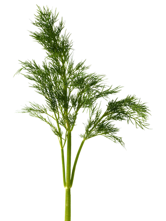Fresh green dill weed on white background