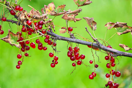A branch of red currants against a vibrant green background.