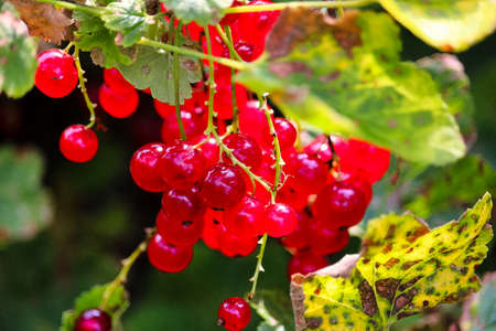 A bunch of red currants hanging on a branch.