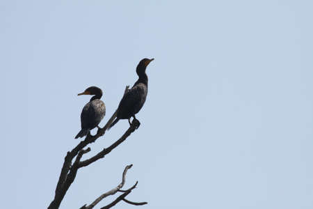 Double Crested Cormorants sitting in a dead tree beside a fast moving river in Southern Ontario