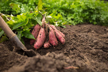 Photo pour A bunch of sweet potato with shovel and green leaves on black ground - image libre de droit