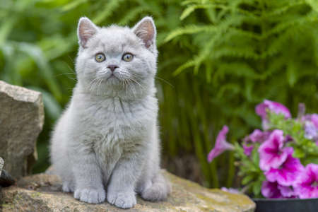 Photo for British shorthair kitten sitting on a stone in the grass close-up - Royalty Free Image