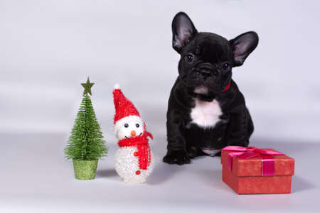 Cute sitting French bulldog puppy with Christmas gifts