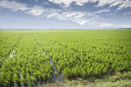 Photo pour Rice field green grass blue sky cloud cloudy landscape background - image libre de droit