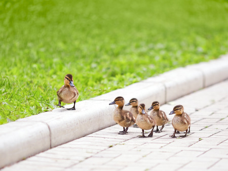 Foto de Ducklings walking on the road - Imagen libre de derechos