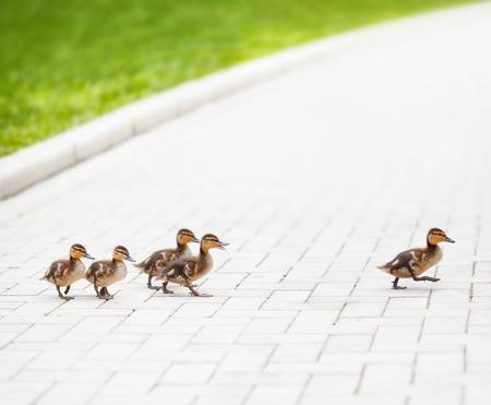 Ducklings go across the road
