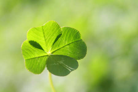 This is a picture of a natural four leaf clover