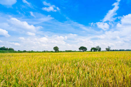 Photo pour Rice field in blue sky - image libre de droit