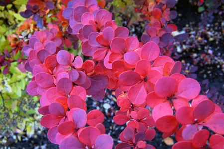 Berberis thunbergii Red Carpet ornamental perennial foliage - natural background. color palette scheme with complementary swatches