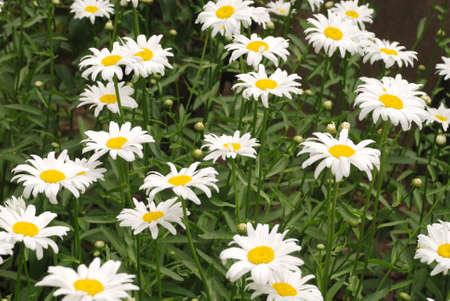 Photo for Flowering of daisies. Oxeye daisy, Leucanthemum vulgare, daisies,  Common daisy, Dog daisy, Moon daisy. Gardening concept - Royalty Free Image