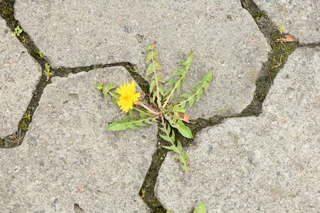 Photo for Top view of yellow dandelion flower between grey paving stones. High resolution photo. Full depth of field (DOF). - Royalty Free Image
