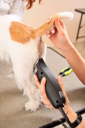 Hairdresser mows Jack Russell Terrier fur on the rear with a trimmer