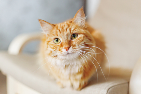 Cute ginger cat is sitting on chair. Fluffy pet looks curious. Cozy home background with funny pet.