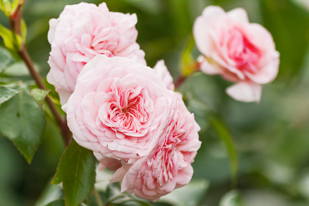 Photo for Natural summer background with David Austin pink rose. Beautiful blooming flower on green leaves background. - Royalty Free Image