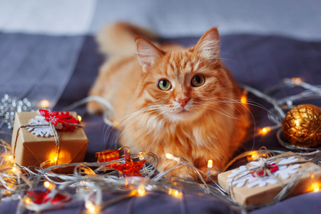 Cute ginger cat lying in bed with shining light bulbs and New Year presents in craft paper. Cozy home Christmas holiday background.