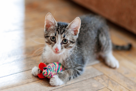 Photo pour Cute gray kitten is playing with toy mouse. Funny pet on floor. - image libre de droit