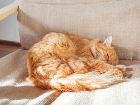Cute ginger cat lying on chair. Fluffy pet comfortably settled to sleep. Cozy home background with funny pet.