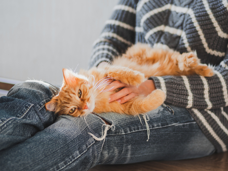 Photo pour Cute ginger cat dozing on woman knees. Woman in torn jeans stroking her fluffy pet. Cozy home. - image libre de droit