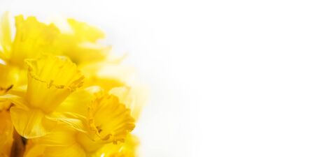 Photo pour Bouquet of Narcissus or daffodils. Bright yellow flowers on white background. Banner with copy space. - image libre de droit
