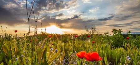 Wild poppies at dawn with sun rising in the background at a meadow