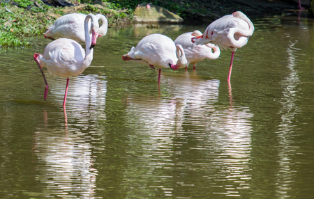 A flock of flamingo by the pond