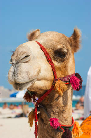 Photo for The muzzle of the African camel close-up - Royalty Free Image
