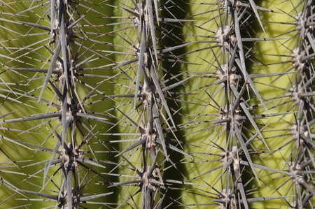 Mexican cactus thorns of sonillo by day