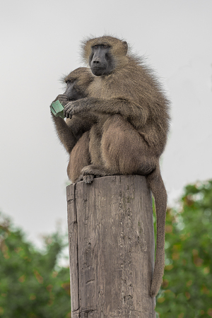 Upright photograph of two baboons sitting on top of a tree stump in the air looking out